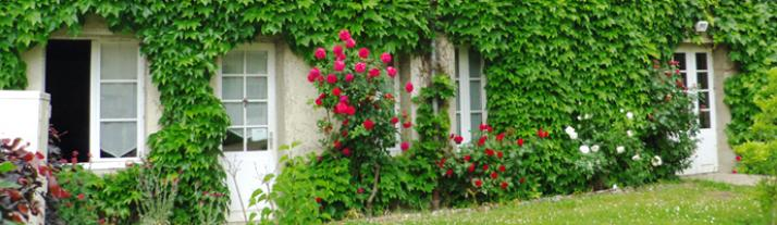 Rose bush in bloom