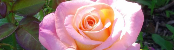 Beautiful rose in the sunshine